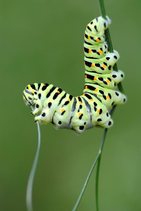 swallowtail гусеницы стоковое изображение rf