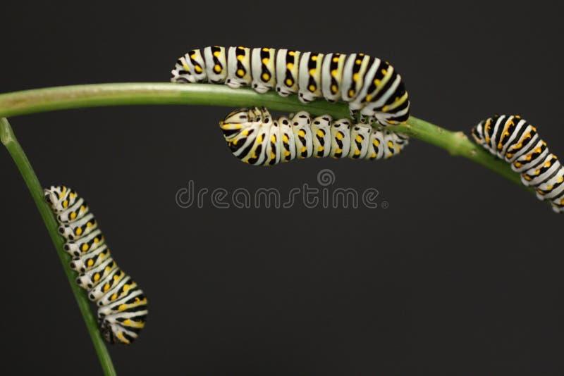 swallowtail гусениц бабочки стоковое изображение rf