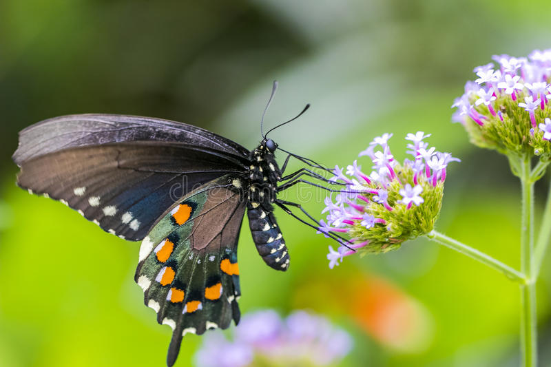 Swallowtail蝴蝶,女性,宏观射击的关闭 免版税库存照片