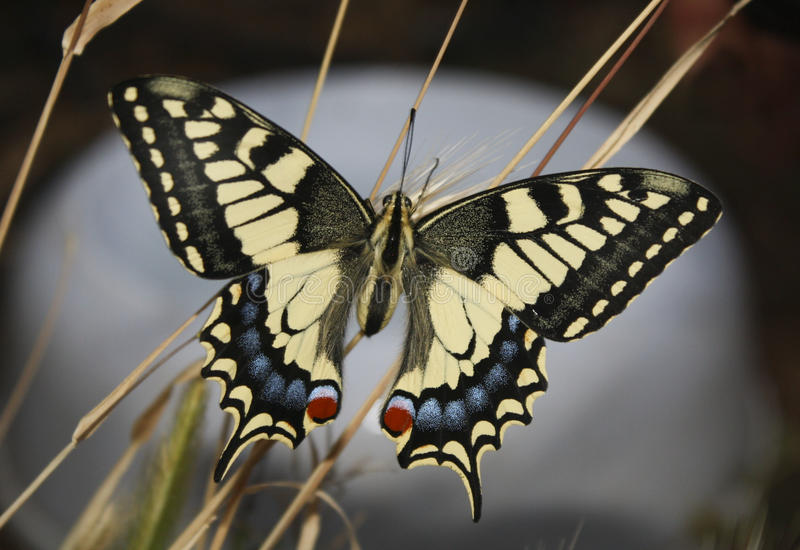 Swallowtail photographie stock libre de droits