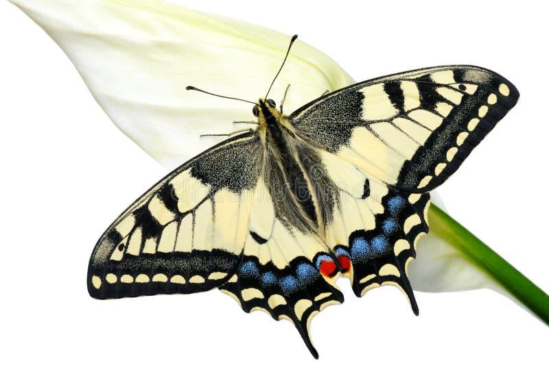 Swallowtail fotografia stock