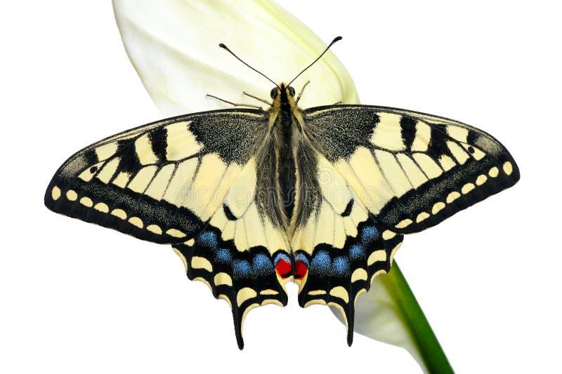 Swallowtail fotografie stock libere da diritti