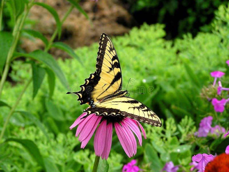 Download Swallowtail imagen de archivo. Imagen de cierre, cubo, fauna - 179523