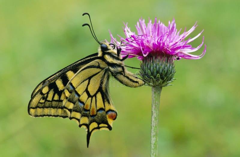 Swallowtail fotografie stock