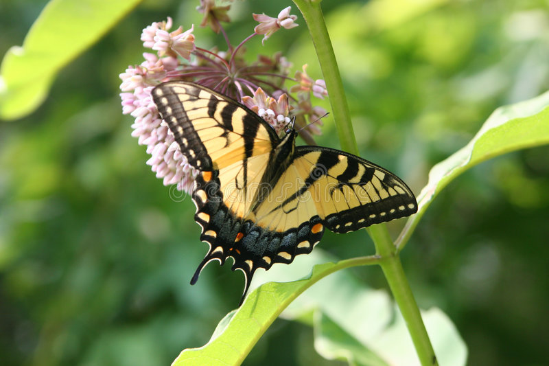 Download Swallowtail 3 stock photo. Image of spring, delicate, flight - 1470000