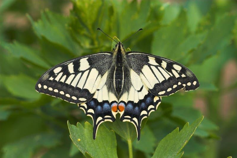 swallowtail zdjęcia royalty free
