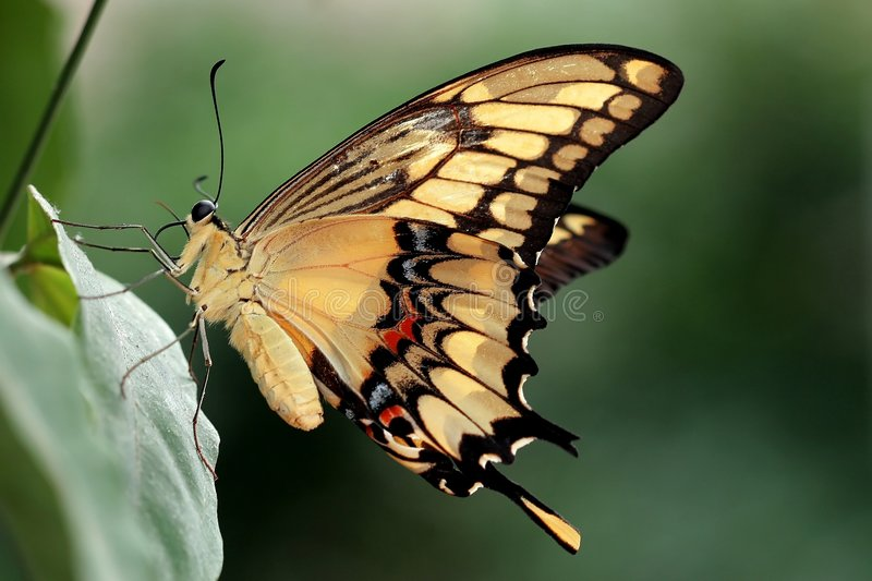 Swallowtail. On a blant royalty free stock photos