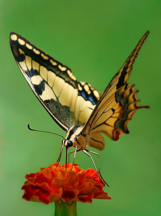 Free Swallowtail Stock Photo - 6591400