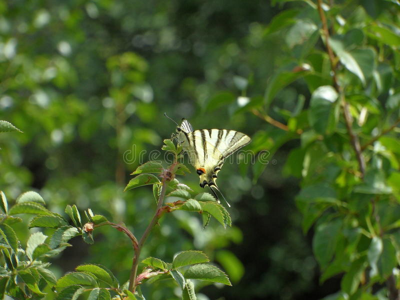 swallowtail stock afbeelding