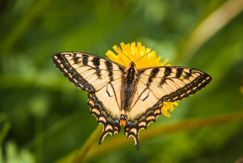 Swallowtail 2 obrazy royalty free