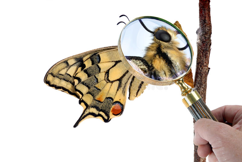 Swallowtail butterfly. Sitting on the chrysalis. Looked at through a magnifying glass royalty free stock photography