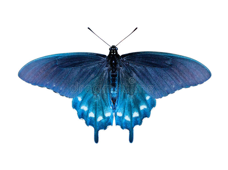 Swallowtail Butterfly. Pipevine Swallowtail Butterfly (Battus philenor) on white background with clipping path stock photography