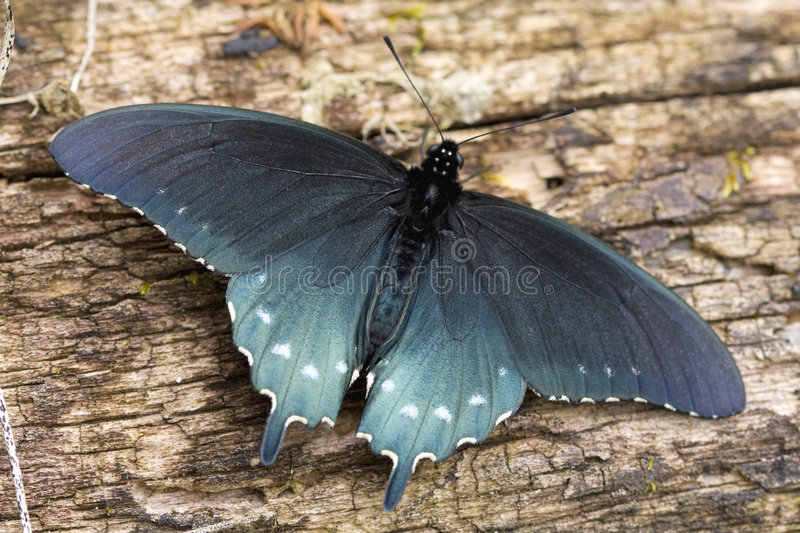 Swallowtail Butterfly. Close-up of a Pipevine Swallowtail butterfly on a log in the Great Smoky Mountains National Park royalty free stock photo