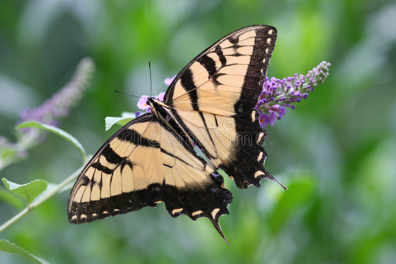 Swallowtail Butterfly. On Butterfly Bush stock photos