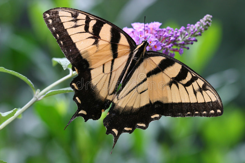 Swallowtail Butterfly. On Butterfly Bush stock images