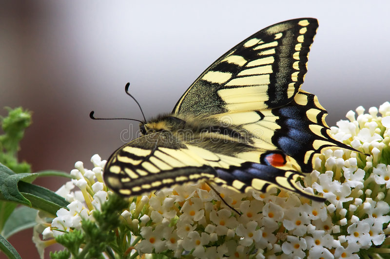 Swallowtail butterfly. On a butterfly-bush stock images