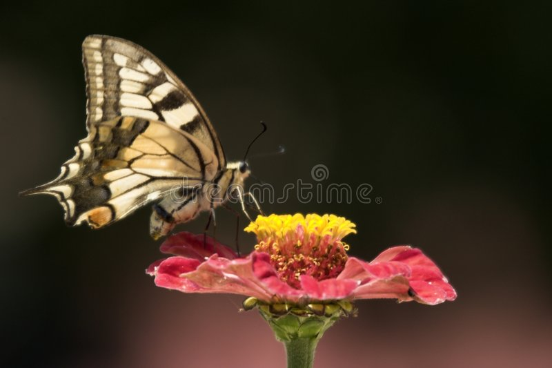 Swallowtail Butterfly royalty free stock images