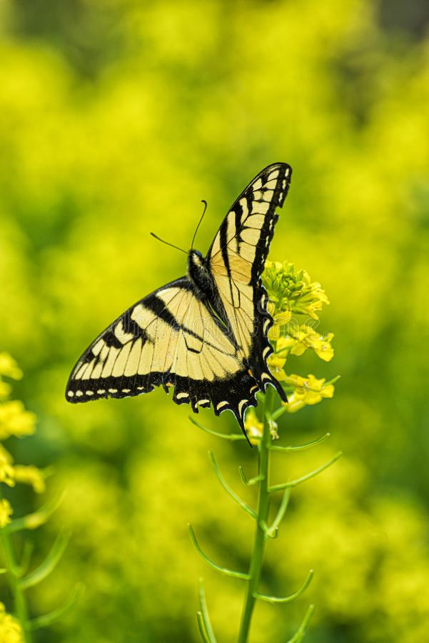 Swallowtail Butterfly Against Yellow Background. Vertical shot of a beautiful swallowtail butterfly sitting on some tiny yellow flowers against a yellow out of stock photos