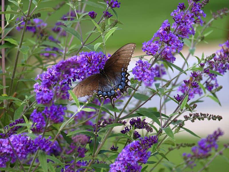 Swallowtail On Butterfly Bush. Black swallowtail butterfly on a purple butterfly bush stock photos