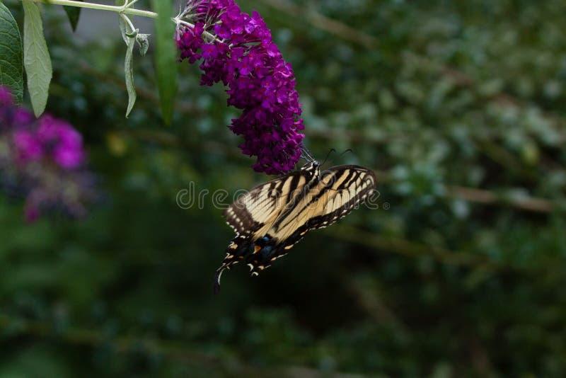 A Swallowtail on a Butterfly Bush. A yellow Swallowtail Butterfly feeding from a purple butterfly bush stock image