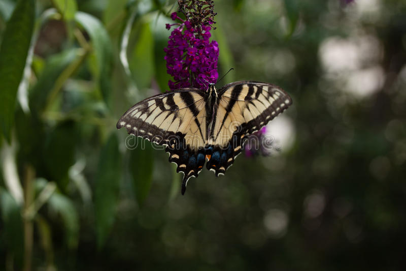 A Swallowtail on a Butterfly Bush. A yellow Swallowtail Butterfly feeding from a purple butterfly bush stock photo