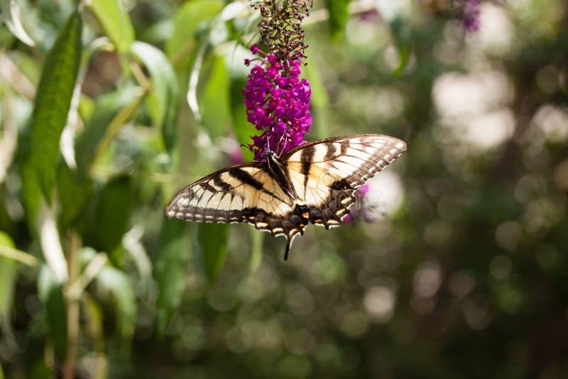 A Swallowtail on a Butterfly Bush. A yellow Swallowtail Butterfly feeding from a purple butterfly bush royalty free stock photo