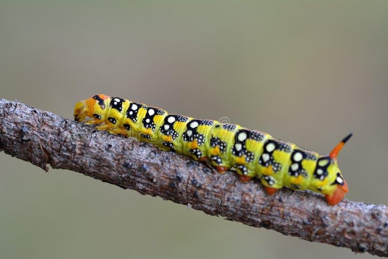 Swallowtail butterfly caterpillar stock image