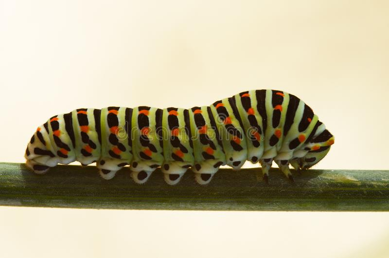 Swallowtail butterfly caterpillar on a stem - Papilio machaon stock image