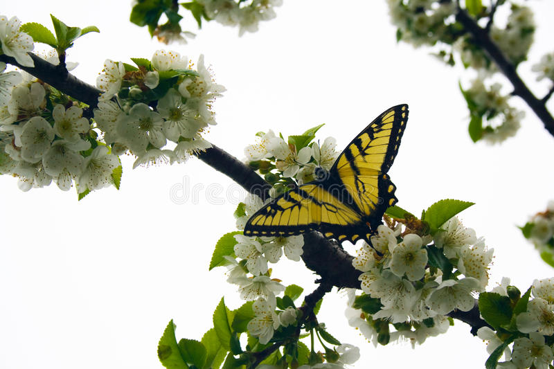 Swallowtail Butterfly on Cherry Tree Blossoms stock image