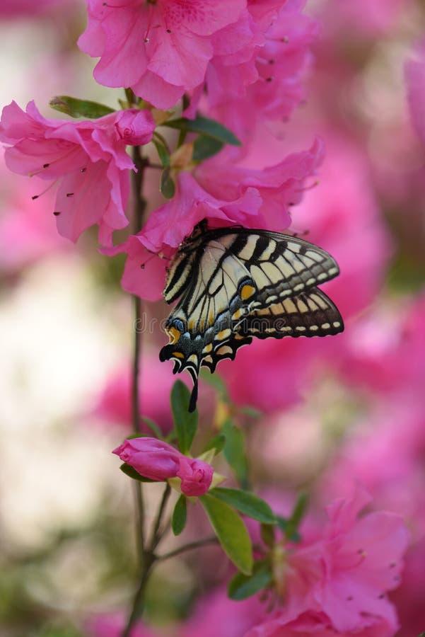 Swallowtail butterfly feeding on pink azalea stock image