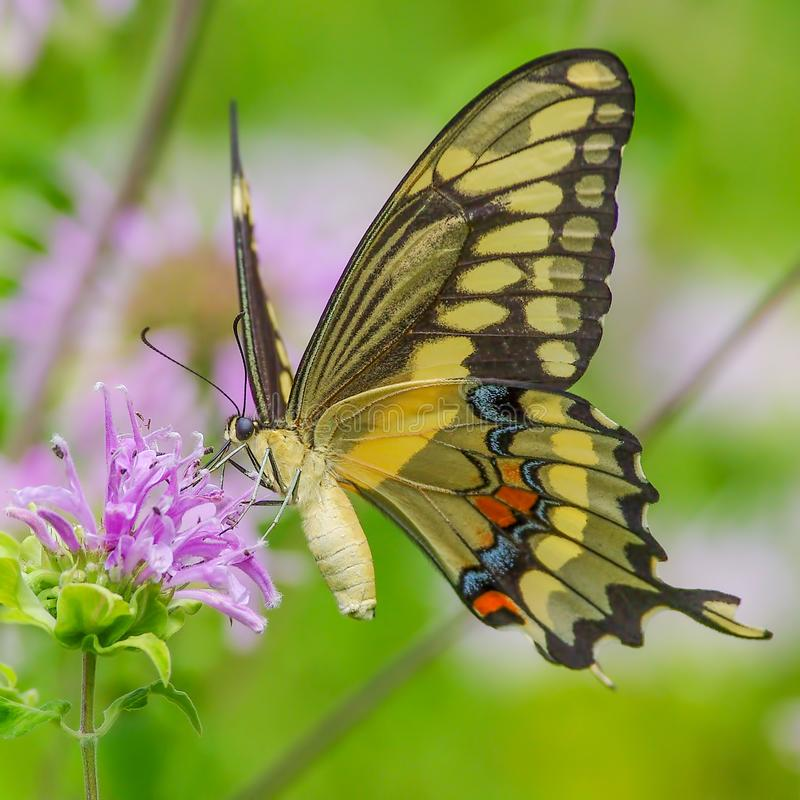 Swallowtail butterfly feeding on a purple wildflower in Theodore Wirth Park in Minneapolis, Minnesota.  stock image