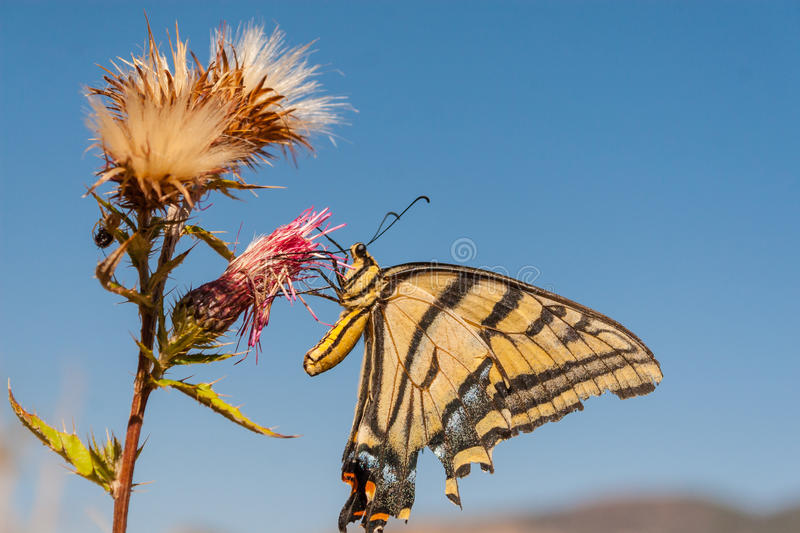 Swallowtail Butterfly. A Swallowtail butterfly feeding on a thistle royalty free stock photo