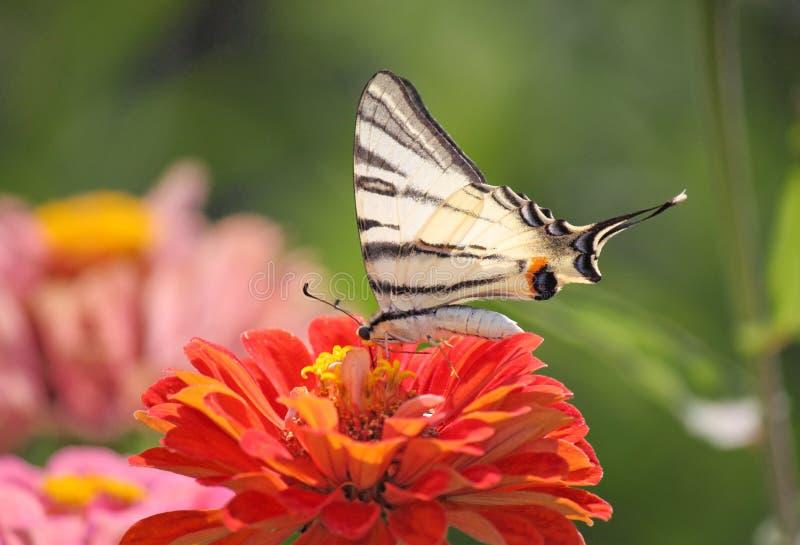 Swallowtail Butterfly On Flower Stock Photo