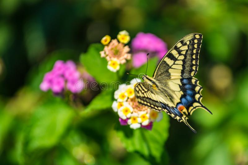 Swallowtail butterfly on a flower with green background royalty free stock image
