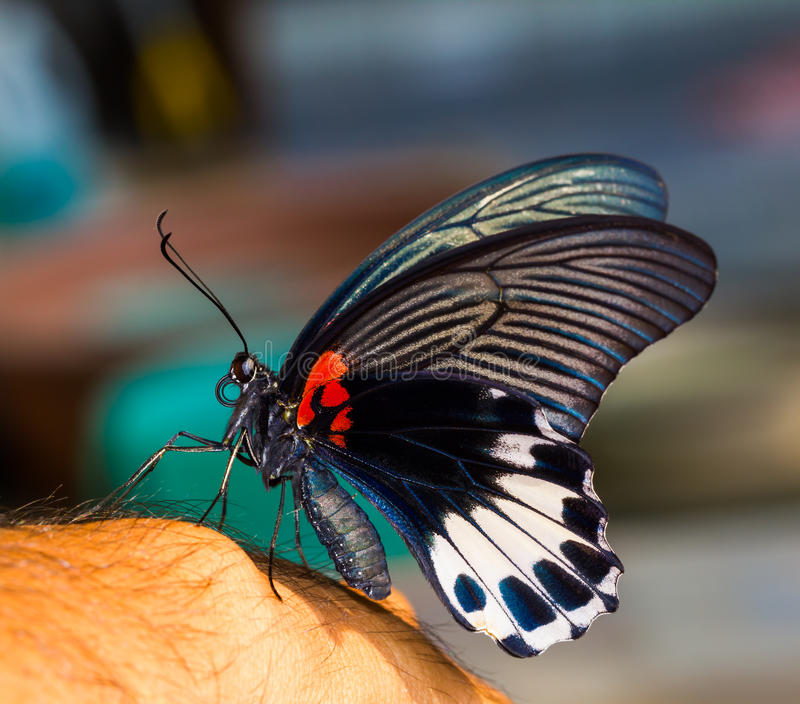 Swallowtail butterfly. Swallowtail or great mormon butterfly lying on hand stock photo