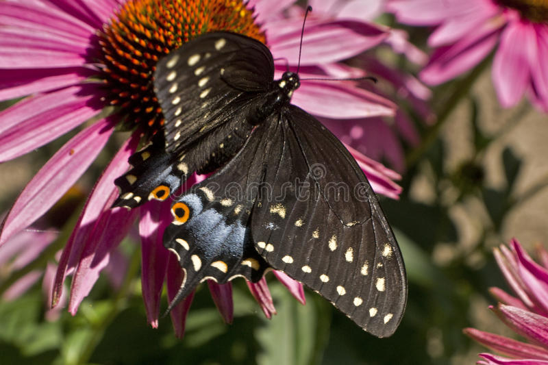 Swallowtail butterfly high angle on Echinacea flower. Swallowtail butterfly wings spread high angle on Echinacea flower closeup royalty free stock photography