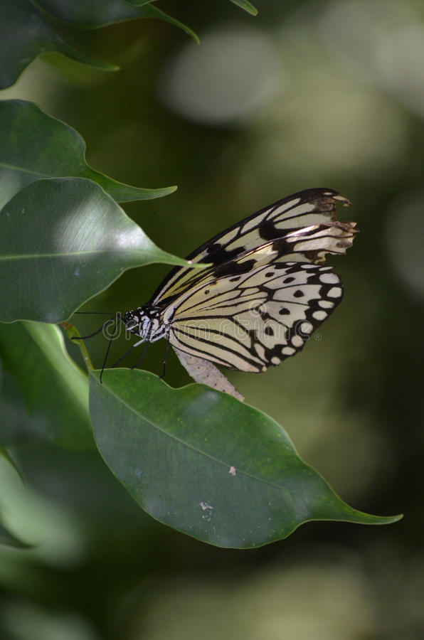 Swallowtail Butterfly Known as the Tree Nymph on a Leaf. Gorgeous swallowtail butterfly on a green leaf royalty free stock photo