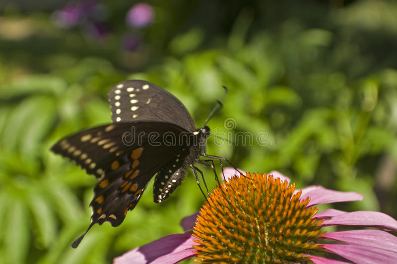 Swallowtail butterfly lands on Echinacea flower. Close up stock images