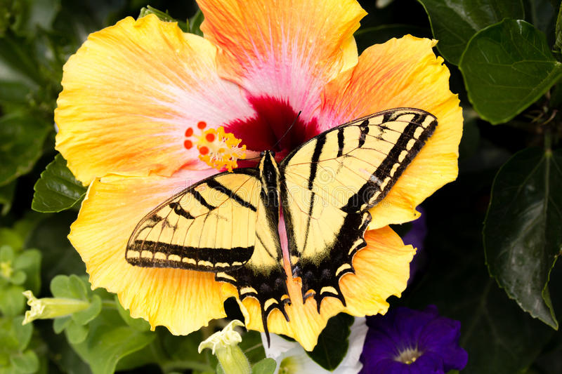 Swallowtail butterfly lands on a tropical hibiscus plant stock photos