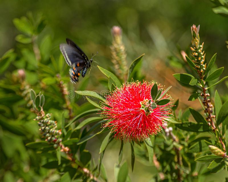 Swallowtail Butterfly Liftoff from Bottlebrush Flower, Arizona. Just off the highway, Roadside beauty royalty free stock images