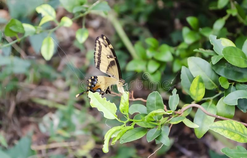 Swallowtail Butterfly On Lime Leaf royalty free stock photography