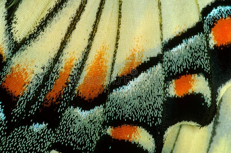Swallowtail butterfly in macro. royalty free stock image