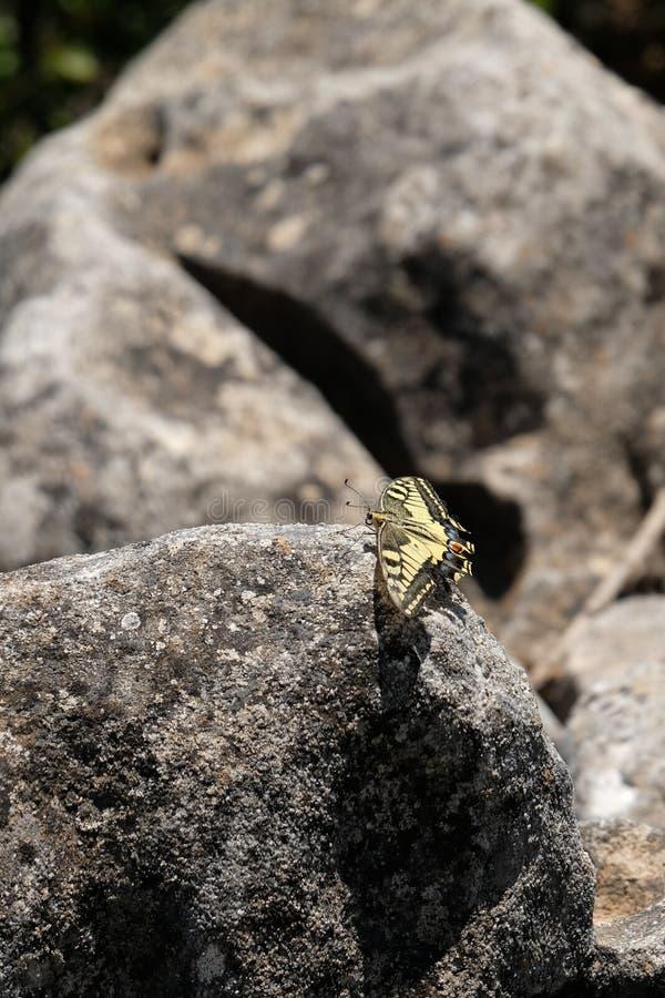 Swallowtail Butterfly at Mount Calamorro. Near Benalmadena Spain royalty free stock photo