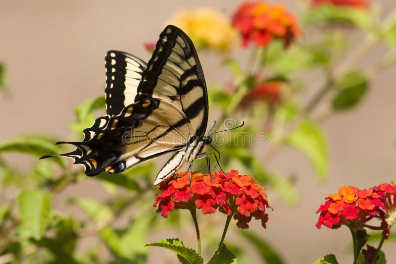 Download Swallowtail Butterfly On Orange Lantana Stock Photo - Image: 4461590