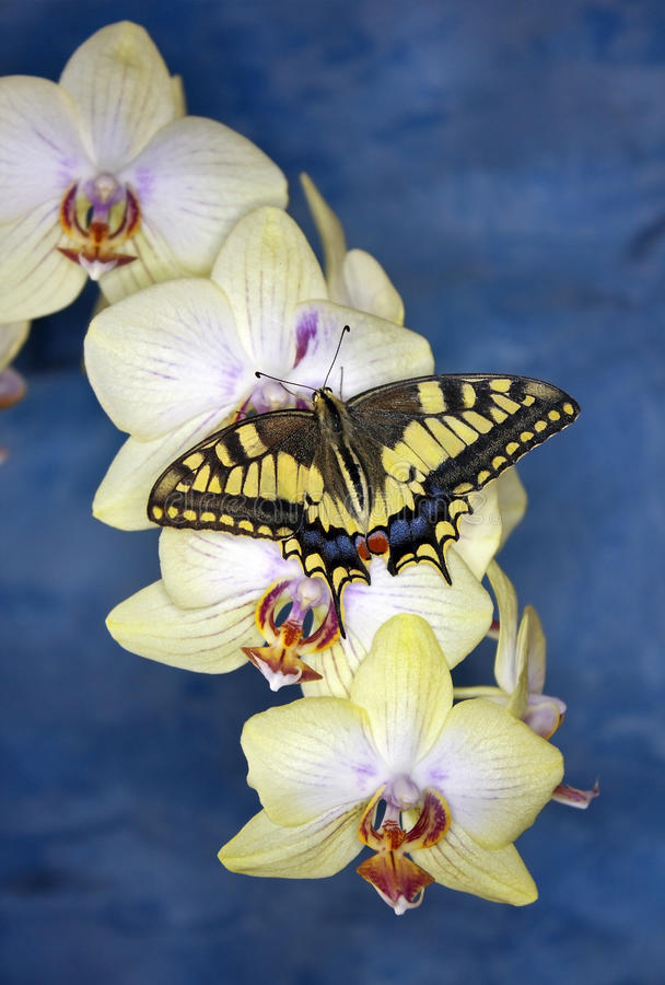 Swallowtail butterfly (papilio machaon) on orchid. Swallowtail butterfly (papilio machaon) on a flower orchid on a bright blue background stock photo
