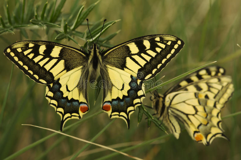 Swallowtail butterfly, Papilio machaon. A pair of Old World Swallowtail butterflies (Papilio machaon). Photography taken at Arrabida mountains, Palmela, Portugal royalty free stock image