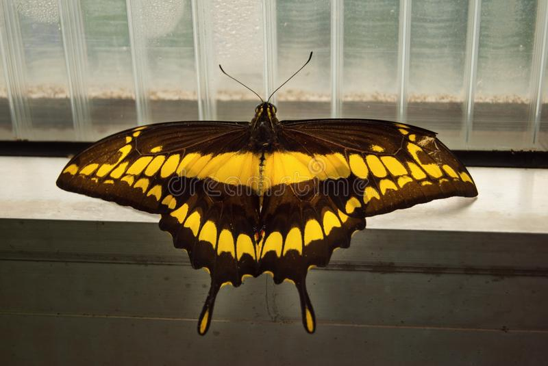Swallowtail butterfly - Papilio thoas. Swallowtail butterfly. Papilio thoas. Yellow- Black butterfly chilling on window, looking for sun royalty free stock image