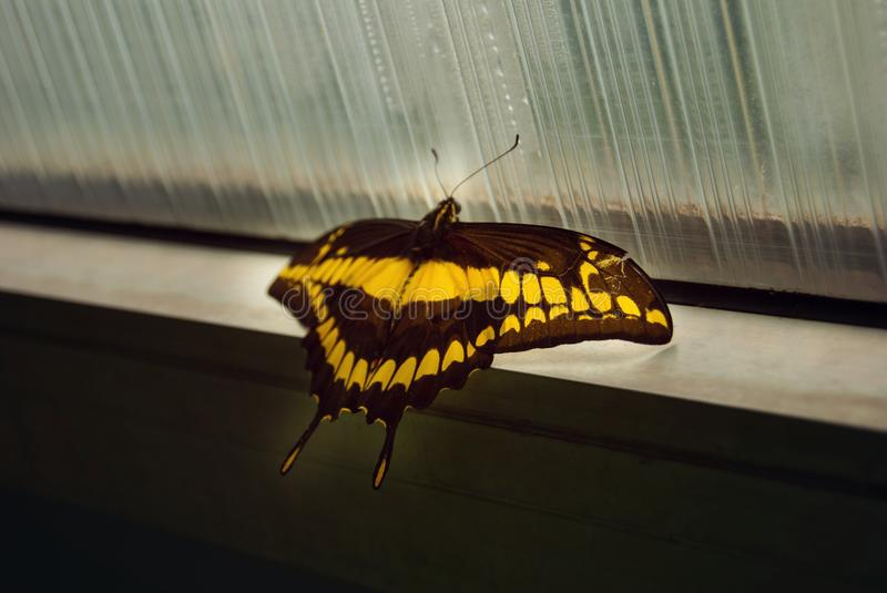 Swallowtail butterfly - Papilio thoas. Swallowtail butterfly. Papilio thoas. Yellow- Black butterfly chilling on window, looking for sun stock images
