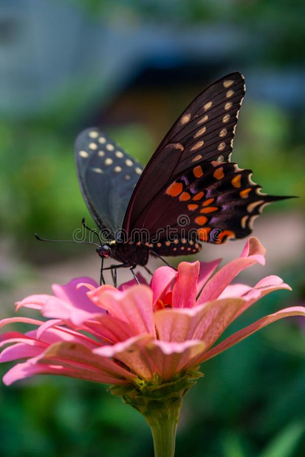 Swallowtail Butterfly on Pink Flower, Side Angle Close Up. A swallowtail butterfly perched on a pink flower, seen from the side stock photography