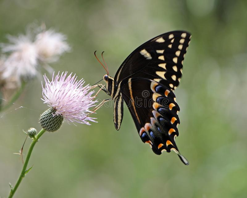 Swallowtail Butterfly Pollinating Thistle Flower royalty free stock photography